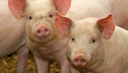 Una nueva gripe porcina pone en alerta a Brasil