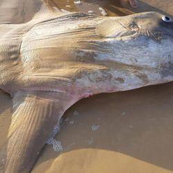 En un primer momento, los turistas confundieron al pez gigante con un extraterrestre.
