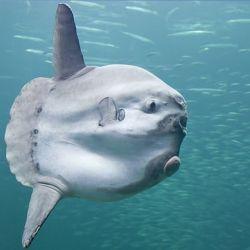 La extraña criatura fue vista en las playas de Victoria, Australia.
