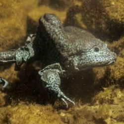 La especie que habita en el lago Tititacaca es considerada la rana completamente acuática más grande del mundo.