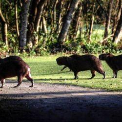 Debido a la falta de gente es más fácil ver caimanes, serpientes, zorros y capibaras.