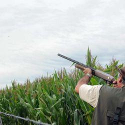 El 25 % de los sembrados se pierde a causa de la invasión de palomas.