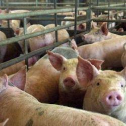 Sector porcino