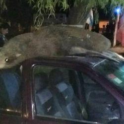 Los lobos marinos causaron graves destrozos en los techos de los autos, debido a su enorme peso que puede llegar a los 200 kilos.