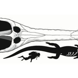 Los científicos aún esperan encontrar un esqueleto más completo para determinar, exactamente, cuán grande era Machimosaurus rex.