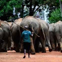 Un hombre escolta a una manada de elefantes en el Orfanato de Elefantes de Pinnawala en Pinnawala, a unos 90 km de la capital, Colombo.   Foto:Ishara S. Kodikara / AFP