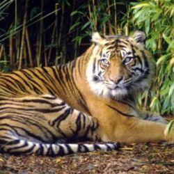 Los tigres de Tailandia se han visto fuertemente amenazados por la caza furtiva y el tráfico ilegal.