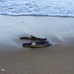 La publicación aclara que se trata de un tiburón gato, una especie que suele habitar en el fondo del océano y no representa peligro para los humanos.