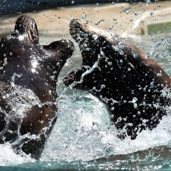 Dos leones marinos juegan en su piscina en el Parque Zoológico de La Fleche, cuando una ola de calor golpea Francia con temperaturas de alrededor de 40 grados Celsius. | Foto:Jean-Francois Monier / AFP