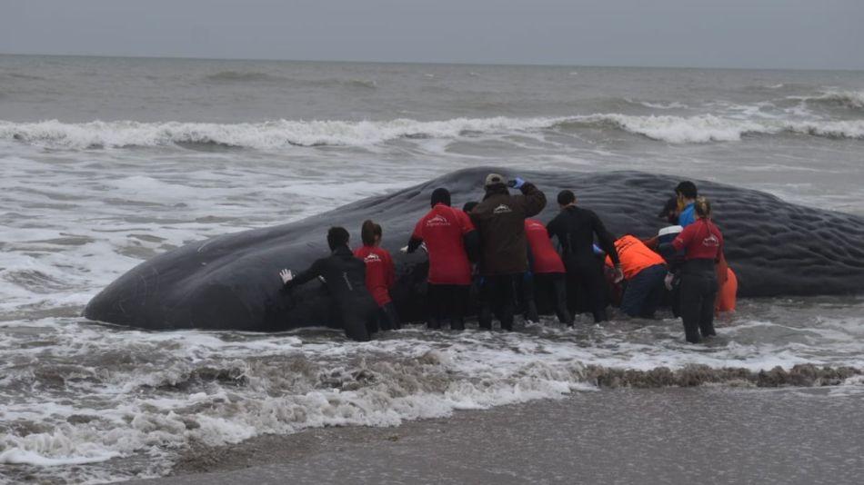 Bomberos, miembros de la Fundación Fauna Argentina y los propios vecinos intentaron devolver el animal al mar.