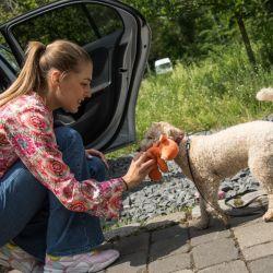 Algunos perros no se acostumbran fácilmente a viajar en coche. Pero con algo de paciencia y entrenamiento es posible que se adapten al movimiento sobre ruedas. Foto: Christin Klose/dpa