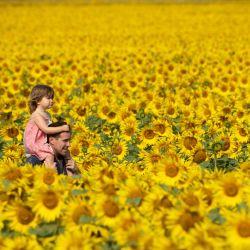 Inglaterra, Baston: Ian Sanderson lleva a su hija Jessica, a través de los campos de girasoles en Vine House Farm. | Foto:Joe Giddens / PA Wire / DPA
