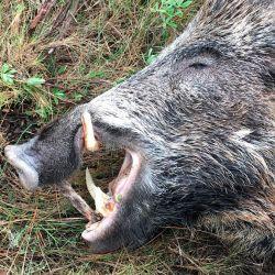 El dañino jabalí fue abatido por el joven cazador español en la tarde del pasado 4 de agosto.