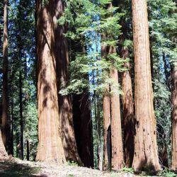 El Parque Nacional de las Secuoyas es famoso por sus secuoyas gigantes.