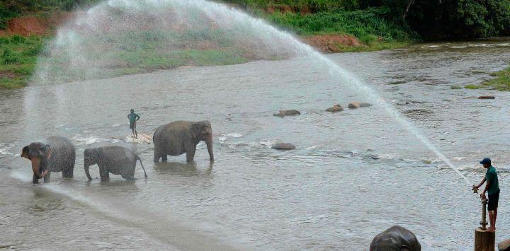 Un mahout o cuidador de elefantes rocía agua sobre los elefantes durante su baño diario en un río en el Orfanato de Elefantes Pinnawala en Pinnawala, a unos 90 km de la capital, Colombo.