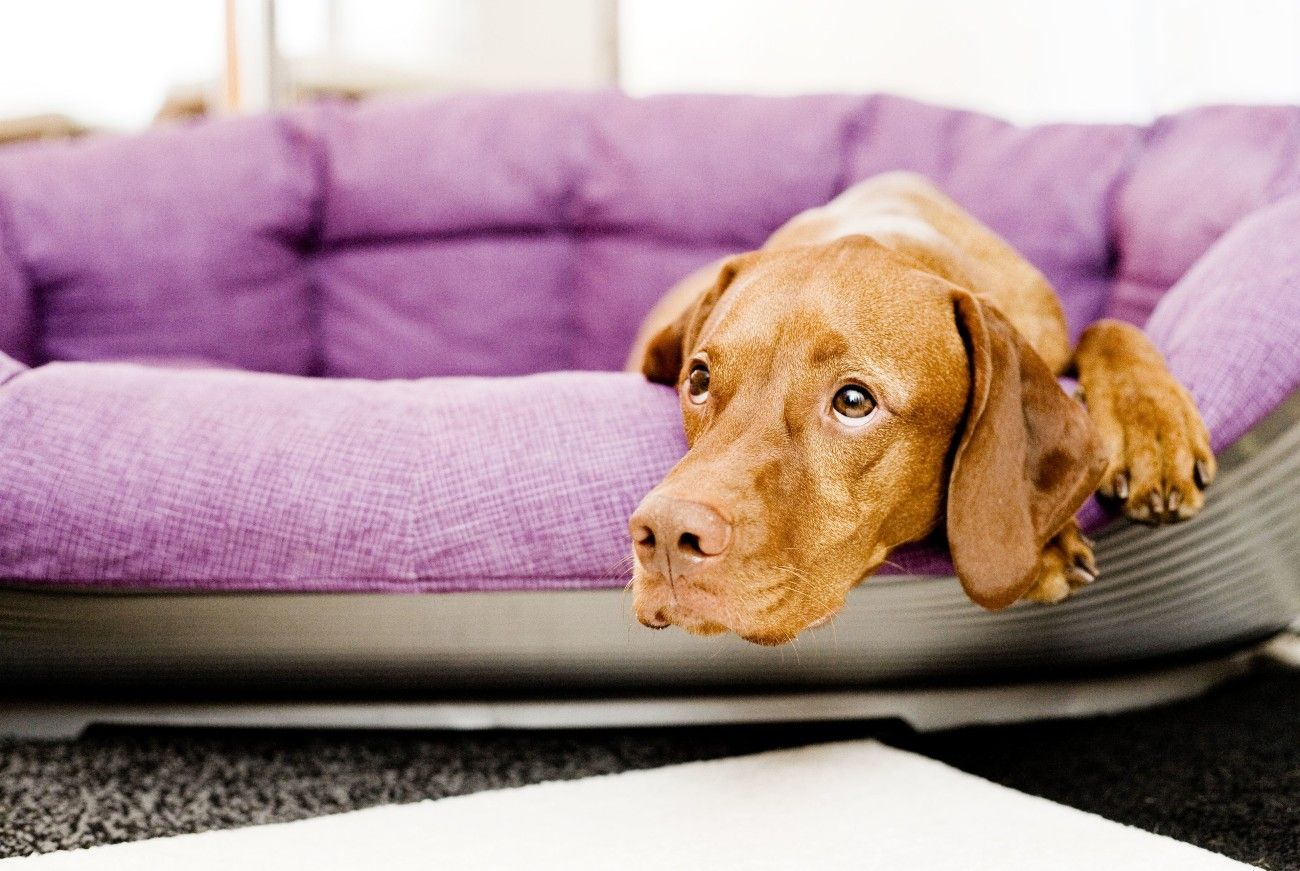 ¿Dónde están mis amos? Si los dueños de un perro vuelven del teletrabajo a la oficina se genera un cambio muy fuerte para el animal, que hay que tratar de introducir paso a paso. Foto: Monique Wüstenhagen/dpa