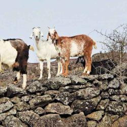 Cabras sobre una antigua pirca de piedra, usada como corrales en las sierras.