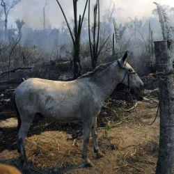 Un burro está amarrado junto a un área quemada de la reserva de la selva amazónica, al sur de Novo Progresso en el estado de Pará. | Foto:CARL DE SOUZA / AFP