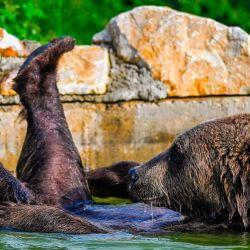 Un oso pardo se enfría en una piscina en el santuario de osos cerca de la aldea de Mramor.- El santuario de osos se cerró para los visitantes, como parte de las medidas de seguridad para frenar la propagación del COVID-19. | Foto:Armend Nimani / AFP