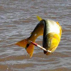 El 1 de septiembre comienza la veda del dorado en el río Uruguay