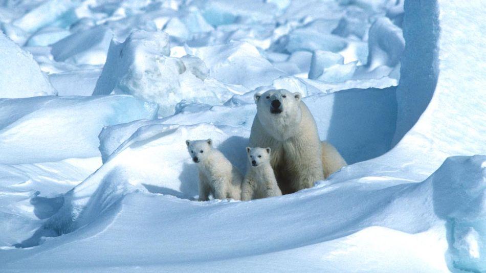 Osos polares del Artico 20200821