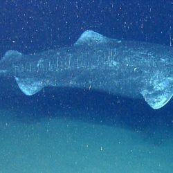 Este tiburón, que puede llegar a los cinco metros de largo, siempre estuvo rodeado de un halo de desconcierto debido a las dificultades que implicaba su investigación.