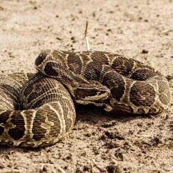 Para evitar que las serpientes piquen a los residentes, algunos vecinos de la zona colocaron trampas para capturarlas.