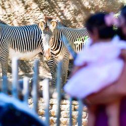 Una mujer y un niño ven un par de cebras de Grevy en el zoológico de Los Ángeles.   Foto:Frederic J. Brown / AFP)