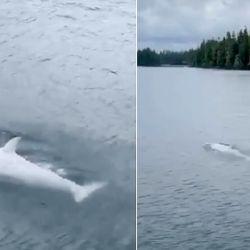 La orca blanca que se puede ver en la filmación fue bautizada como Tl'uk y fue vista cerca de las islas Kuiu y Kupreanof.