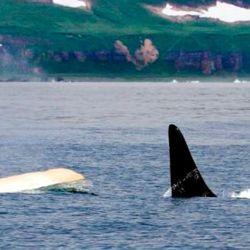 Las orcas suelen sumergirse en el agua durante mucho tiempo y esto hace que sea muy difícil verlas.