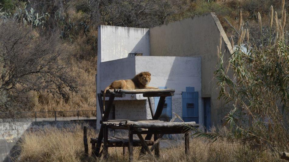León zoológico Córdoba