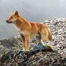 Denominado Canis lupus hallstromi, esta raza se hizo conocida por su especial capacidad de vocalización.