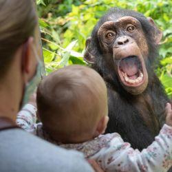 Un chimpancé en el zoológico de Osnabrueck hace contacto con un pequeño visitante del zoológico sentado frente a un panel. | Foto:Friso Gentsch / DPA