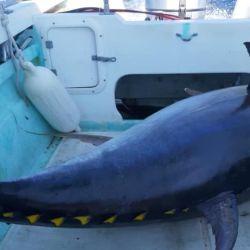 El espectacular atún de aleta amarilla arrojó en la balanza un peso de nada menos que 367 libras, el equivalente a 166,468 kilos.