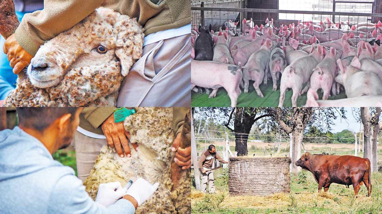 Cuidados. Desde distintos organismos sugieren pensar el vínculo con los animales y el cuidado de las diferentes razas, no solo porcinas, que se utilizan en la alimentación. Cambia la urbanidad y eso altera también la ruralidad y sus prácticas.