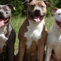 """Contra lo que muy pocos conocen, históricamente, al pitbull se lo llama """"perro niñero""""."""