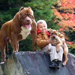 El pitbull era una raza que vivía con los nenes en casas de campos en EE.UU, donde se lo creó.