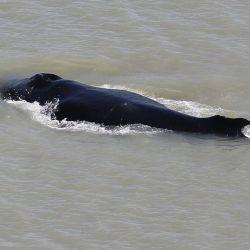 La ballena, que emigraba hacia la Antártida junto a dos compañeras, terminó varada en un río australiano.