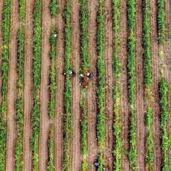 Los trabajadores cosechan uvas en un viñedo en el pueblo georgiano de Arkhiloskalo, a unos 150 kilómetros a las afueras de Tbilisi.   Foto:Vano Shlamov / AFP