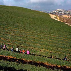 Una vista aérea muestra a los voluntarios cristianos evangelistas cosechando uvas de vino Merlot, para la bodega Tura, de gestión familiar israelí, en los viñedos de la finca ubicados en el asentamiento ocupado de Har Bracha en Cisjordania. | Foto:MENAHEM KAHANA / AFP