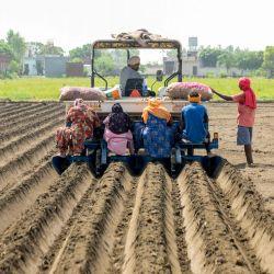 Trabajadores agrícolas plantan patatas de siembra en un campo en las afueras de Amritsar. | Foto:NARINDER NANU / AFP