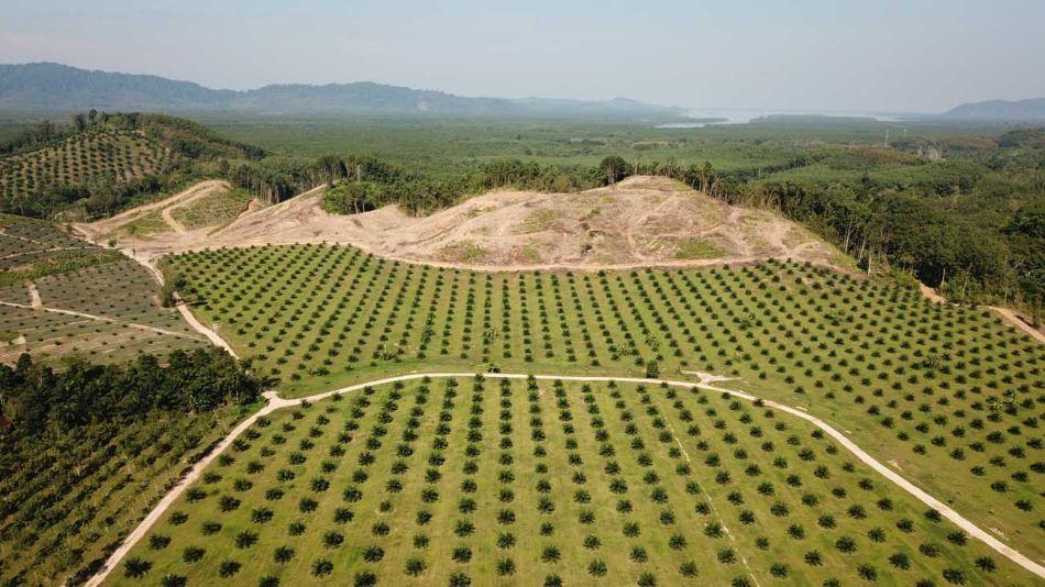 cultivo de palma para aceite 20200928