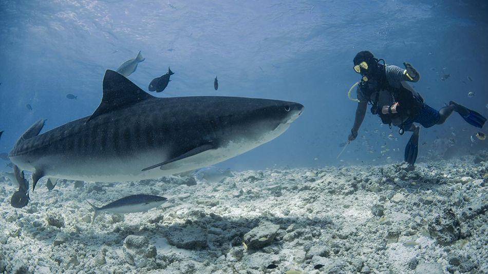 tiburon tigre 20200929