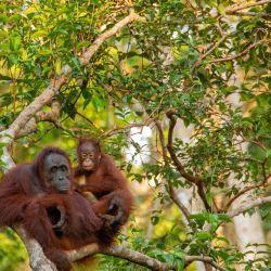 El orangután de Borneo perdió a su especie en más de un 80% en los últimos 75 años.