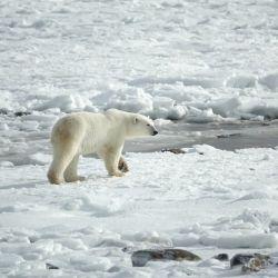 Una de las especies más afectadas son los osos polares que, ante el deshielo, su hábitat natural se pierde.