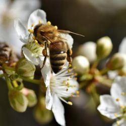 Las abejas tienen que emigrar hacia lugares con climas más frios y las flores de primavera florecen antes de lo normal.