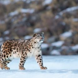 Solamente hay 4.000 ejemplares de leopardos de nieve en libertad.