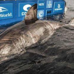 Se estima que el tiburón es una hembra de más de 50 años.