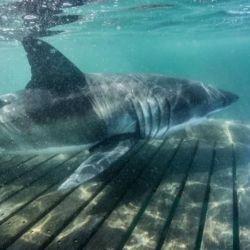 Nukumi es la más grande de los 8 tiburones blanco que la organización logró capturar durante el último mes de investigación.