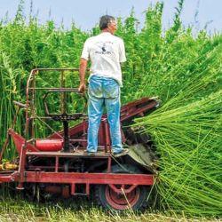 Plantación ecológica de cáñamo industrial.
